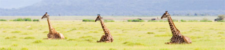 africaday5giraffes.jpg