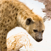 africaday6hyena.jpg