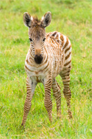 africaday6zebra.jpg
